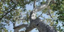 Sycamore Tree canopy