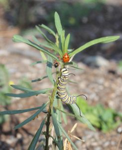 Monarch Butterfly catipillar and ladybug at Peck-webopt